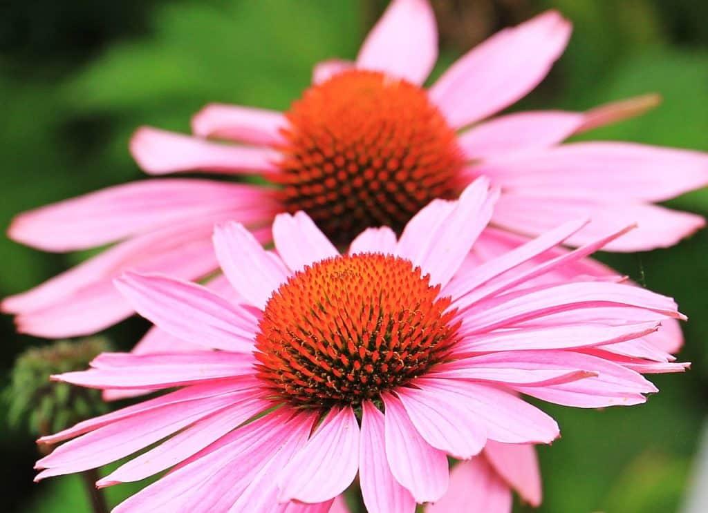 vertus Echinacea